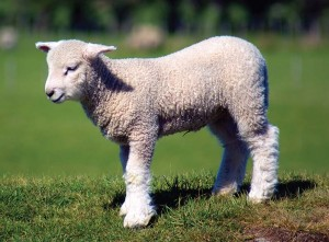 Lamb producers: Suffering as seasonal prices plunge