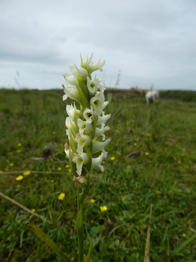 Discovery of rare orchid made on a mid-Wales reserve - The Carmarthenshire Herald